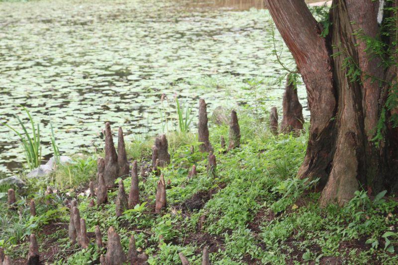 연못가의 낙우송.JPG
