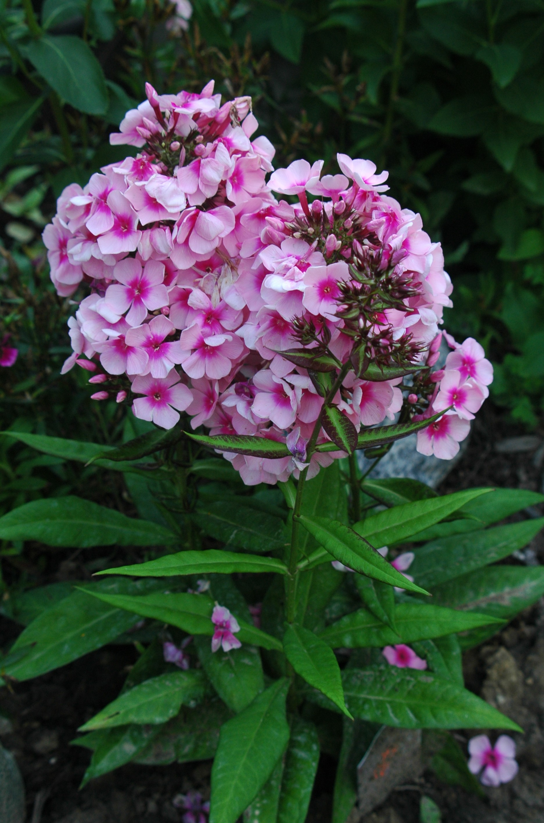 garden crazy find container phlox intensia blueberry tall ct