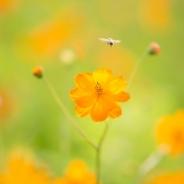 수원 노랑코스모스 꽃사진
