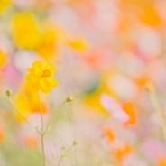 당수동 시민농장 노랑코스모스 꽃사진