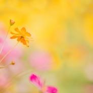 수원 코스모스 꽃사진