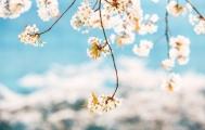 대전 벚꽃 사진