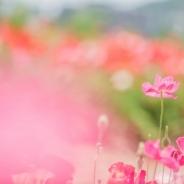 공주 미르섬 양귀비 꽃사진