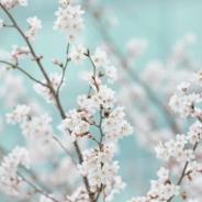 대전벚꽃 사진
