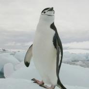 남극 췬스트랩펭귄